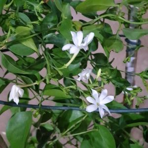 jasmine grandiflora