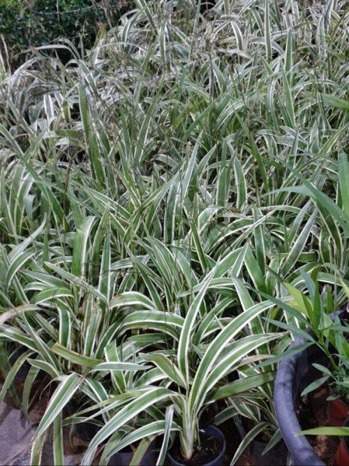 dianella tasmanica exoticplantsouq.ae