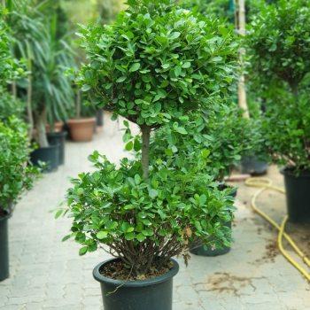 Ficus Panda Two steps exoticplantsouq.ae
