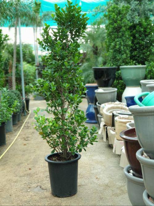 Ficus Panda Cone Shaped -exoticplantsouq.ae