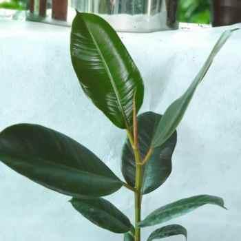 Ficus Elastica Rubber Plant exoticplantsouq.ae