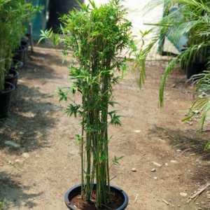 Bamboo Multiplex
