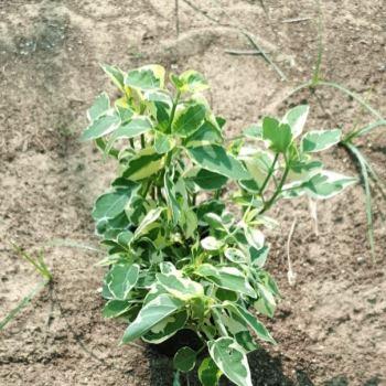 Asystasia gangetica 10-15cm