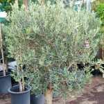 Olive – Olea Europea