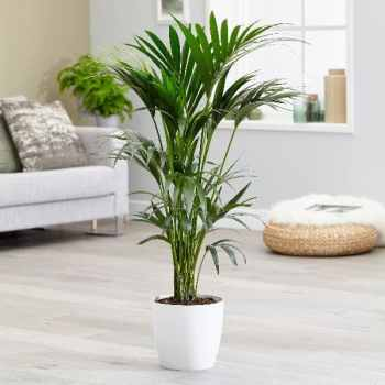 Howea forsteriana Kentia Palm Plant