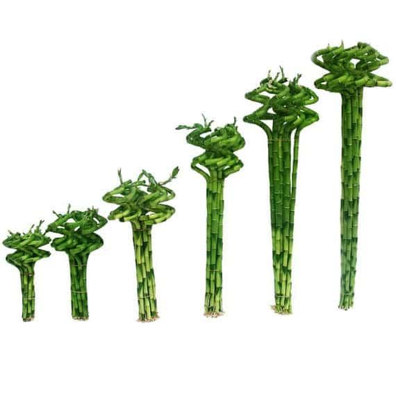 Lucky Bamboo Spiral Stalk.