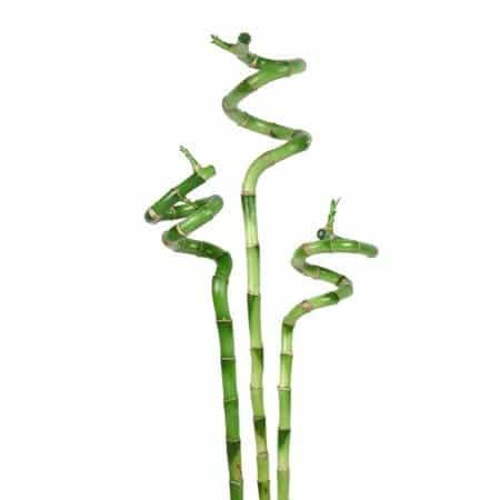 Lucky Bamboo Spiral Stalk