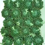 echeveria Succulents