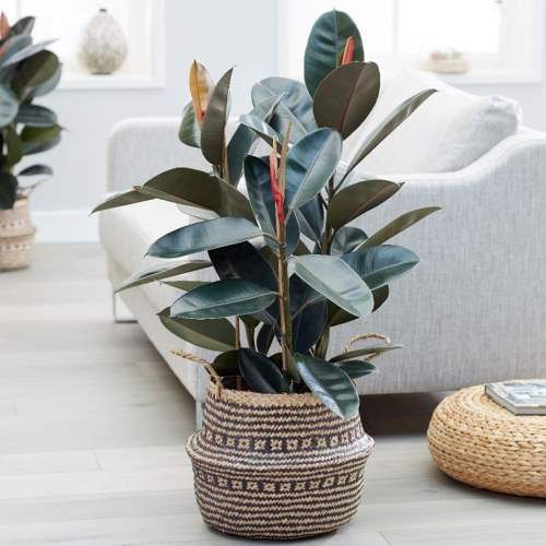"Ficus elastica ""Abidjan"" or Rubber - Plant"