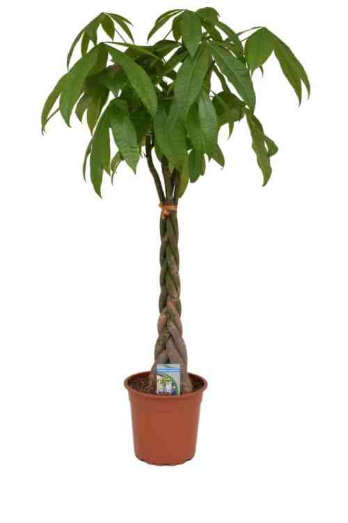 pachira-aquatica-p-24-cm Indoor Plants