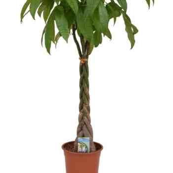 pachira-aquatica-p-24-cm Indoor Plants
