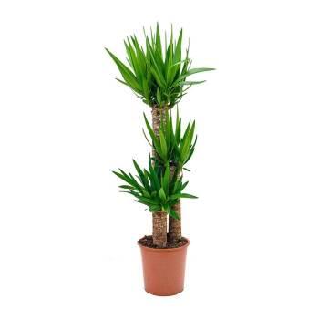 Yucca Indoor Indoor PLant