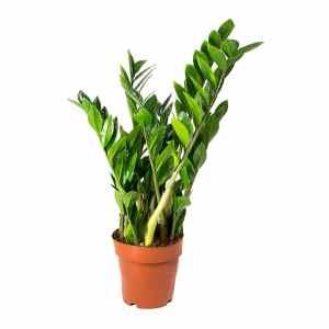 Zamioculcas-zamiifolia-ZZ-Plant