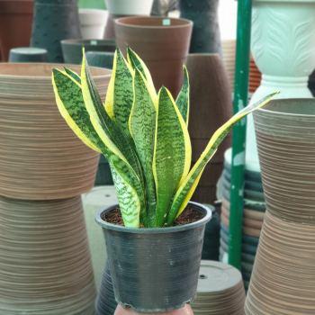 Sanseveria Plant Snake plant