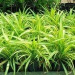 Pandanus variegata (Yellow Stripes)