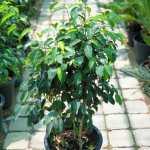Ficus benjamina (Weeping Fig) 60-80cm
