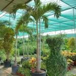 Veitchia merrillii palm