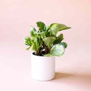 Peperomia marble or Variegated