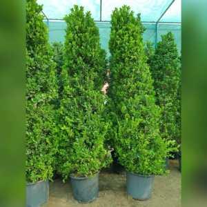 Ficus 4 cone Shaped