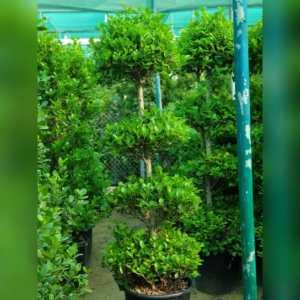Ficus 4 Step Head