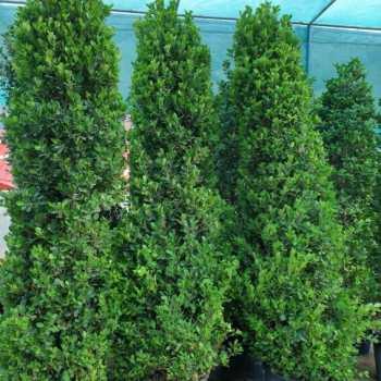 Ficus cone Shaped