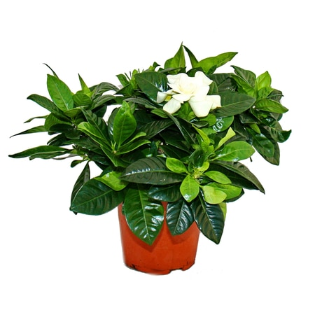 gardenia-fragrant-flowering-plant-with-cream-white-coloured-flowers-12cm-pot