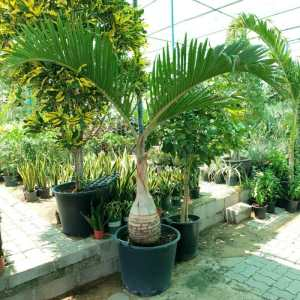 "Hyophorbe lagenicaulis ""Bottle Palm"""