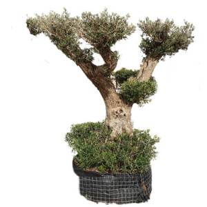 Olive – Olea Europea MultiHead Shaped plants