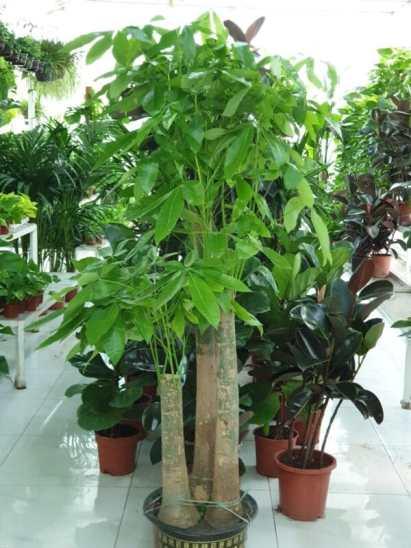 Pachira Twisted Trunk (Pachira Aquatica, Money Tree)