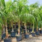 Roystonea regia (Royal Palm)