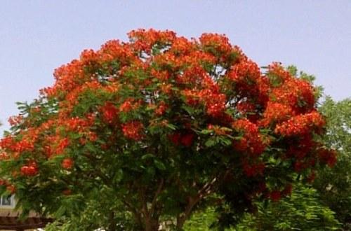 "Delonix regia ""Flame Tree or Poinciana"""
