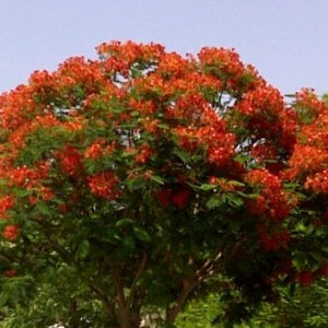 "Delonix regia ""Flame Tree or Poinciana"""