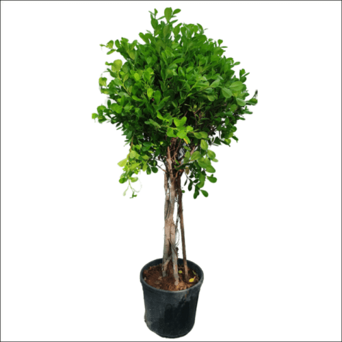Ficus Panda Twisted trunk