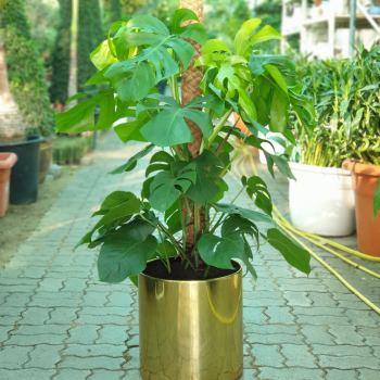 monstera in stainless Steel gold finish plant pot