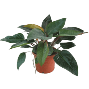 philodendron imperial green | Red
