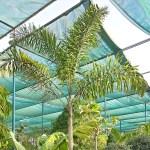 """Wodyetia bifurcata """"Foxtail Palm"""" ثعلب النخيل"""