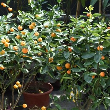 Citrus Mandarin Orange