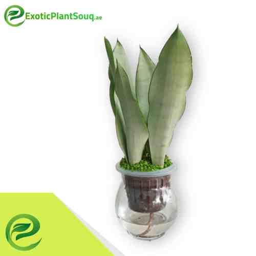 "Snake Plant ""Moon Shine"" 25-30cm"