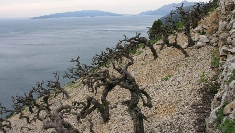 peljesac vineyard croatian wine