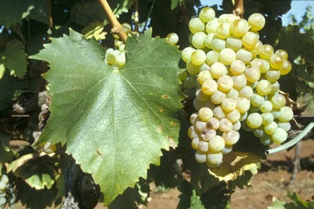 malvazija istarska grape