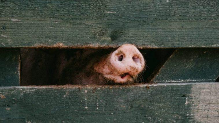 bukan babi ngepet