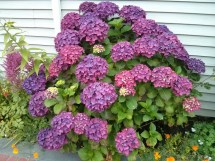 The coast wouldn't be the same without hydrangeas