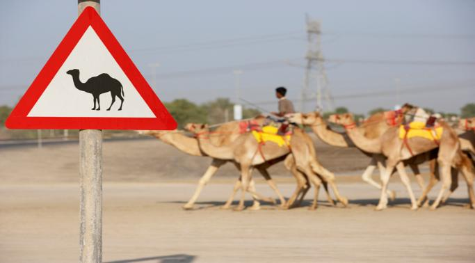 middle_east_camels-683x378