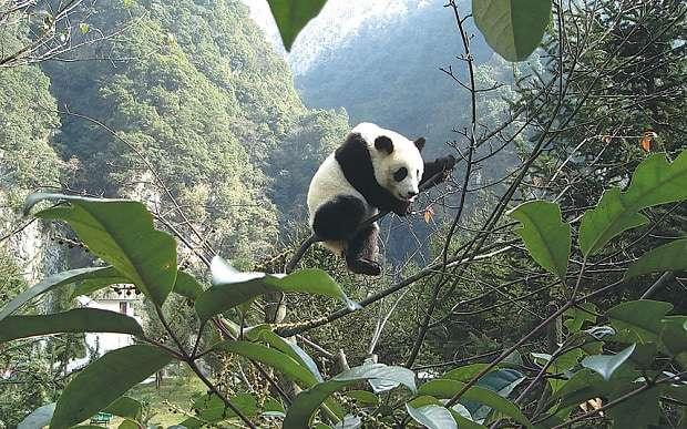 china-watch-pandas_3579237b