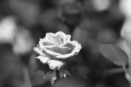 Black and White Rose, Longwood Gardens, Orchid Extravaganza