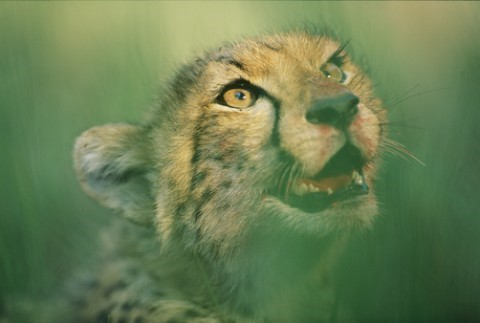 A cheetah cub with a bloodstained muzzle  (Photo: NGS stock photo by©Chris Johns)