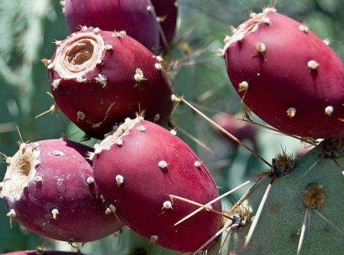 """Barbary Fig Seed Oil - The New """"It"""" Oil"""