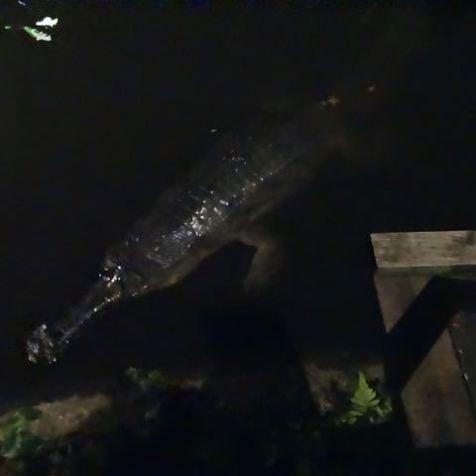Krokodil während der Night Safari