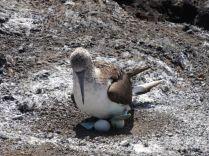 Blaufußtölpel-Nest