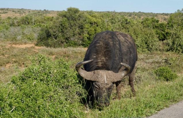 Grasender Büffel im Addo Elephant National Park